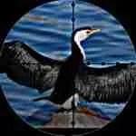 Cormorant killers shoot the bird to D.C. judicial ruling