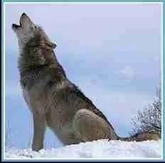 Wolf. (Wikipedia photo)
