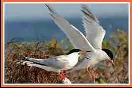 Roseate terns. (Wikipedia photo)