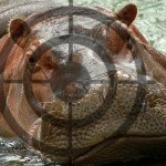 Hippos out of water:  easy trophy targets
