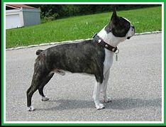 Boston terrier. (Wikipedia)