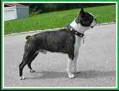 Boston terrier. (Wikipedia)