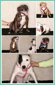 Pit bulls offered for adoption by Battersea Dogs & Cats Home.