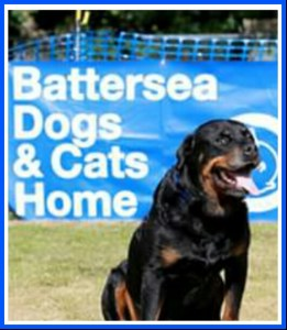 Rottweiler up for adoption. (Battersea Dogs & Cats Home photo)