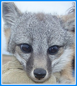 Channel Islands fox. (National Parks Service photo)