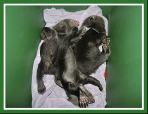 Newborn grizzlies. (WSU Bear Center photo)