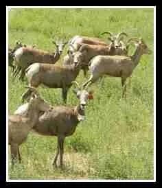 Bighorn sheep herd. (WSU photo)