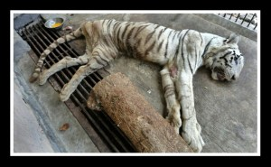 White tiger who died of pneumonia at the Surabaya Zoo in 2012.