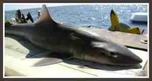 Dogfish. (Wikipedia photo)