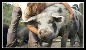 Pigs at Darlynn's Darlins in happier times. (Facebook photo)