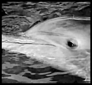Kathy, the dolphin whose death changed Ric O'Barry's view of marine mammal captivity.