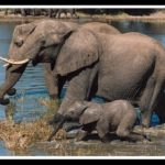Gunfire no aprodisiac for African elephants
