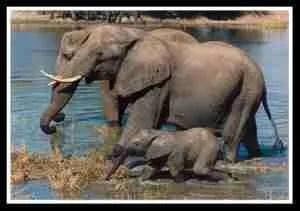 Mother & baby Zimbabwean elephant. (Sharon Pincott photo)