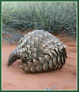 African pangolin. (Johnny Rodrigues/Zimbabwe Conservation Task Force)