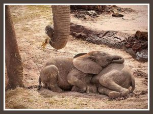 Mama & baby elephants. (Johnny Rodrigues/Zimbabwe Conservation Task Force)