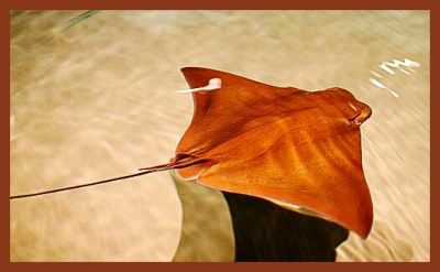 Cownose ray. (Flickr photo)