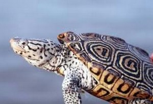 Diamondback terrapin. (msa.maryland.gov)