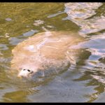 Will more boat kills than ever stop proposal to ease manatee safeguards?