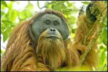 Pongo Tapanuli orangutan by photographer Tim Laman