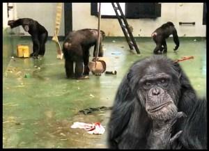 Project Chimp enclosure