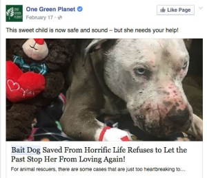 """""""Brought to Calaveras County Animal Services by a good samaritan,"""" according to text accompanything this Facebook photo, this pit bull was clearly in a fight, but there is no verification offered that it was as an alleged bait dog."""