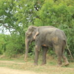 Raju the Independence Day elephant is released