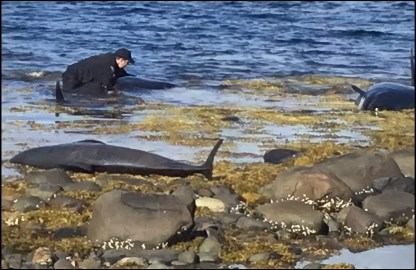 Officer Ryan Collier saving stranded long fin pilot whales