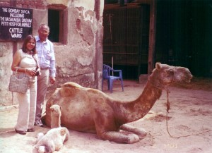 This camel was rescued from illegal slaughter by the Bombay SPCA in Mumbai in 2004.  The Blue Cross of India,  in Chennai.  has also rescued many camels from slaughter over the years.  (Fizzah Shah photo)