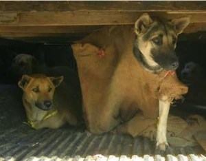 Dogs rescued from smugglers' truck by the Soi Dog Foundation. (SDF photo)