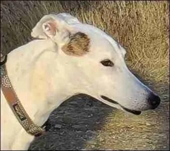 Rescued white greyhound