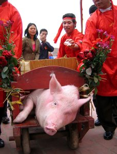 Horrified bystanders watch as pig is carted to slaughter in Nem Truong.  (AAF photo)