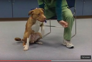 SAFER test being given to a pit bull. (From ASPCA video)