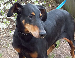 Doberman (not Luger) at Associated Humane Societies. (AHS photo)