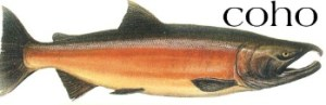 Salmon of the coho variety