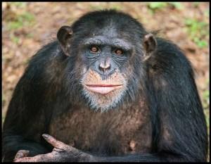 Samira the chimpanzee