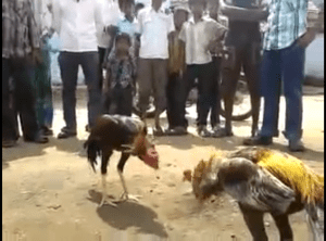 Tamil Nadu cockfighting. (From YouTube video)