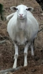 "This pregnant ewe does not see herself as ""red meat,"" either. (Beth Clifton photo)"