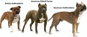 Staffies compared