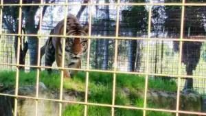 Tiger at Big Cat Rescue. (Beth Clifton photo)