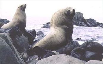 Stellar sea lions. (Wikipedia photo)