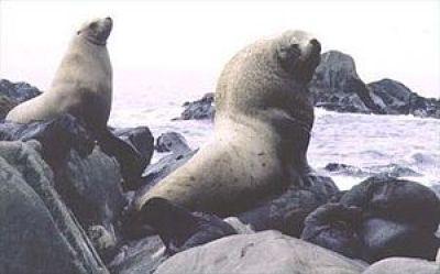 Stellar sea lions. (Wikipedia photo)