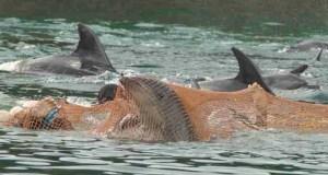 Taiji dolphin captures. (Ric O'Barry's Dolphin Project photo)