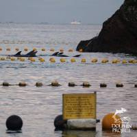 Dolphins at the Taiji cove.