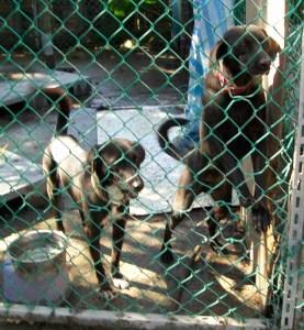 Taipei pound dogs. (MC)