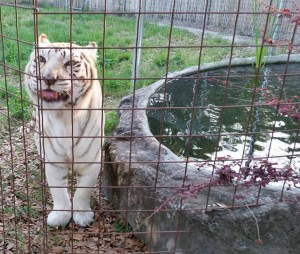 Tiger by Big Cat Rescue pool. (Beth Clifton photo)