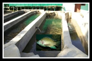 Tilapia farm with tilapia insert. (Beth Clifton collage)