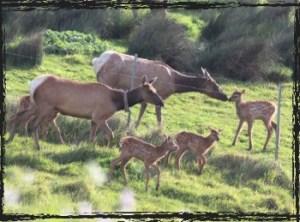 Tule elk and fawns
