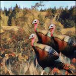 Turkeys at Greenbank Farm