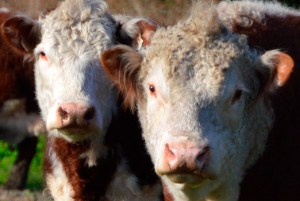 Grass-fed Herefords.  (Beth Clifton photo)