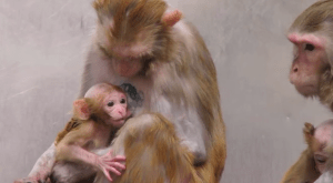 Two monkey mothers with babies in the Suomi lab. (From NIH video obtained by PETA through the Freedom of Information Act.)